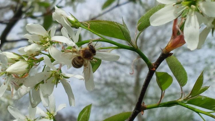 Biene auf Birnbaumblüte